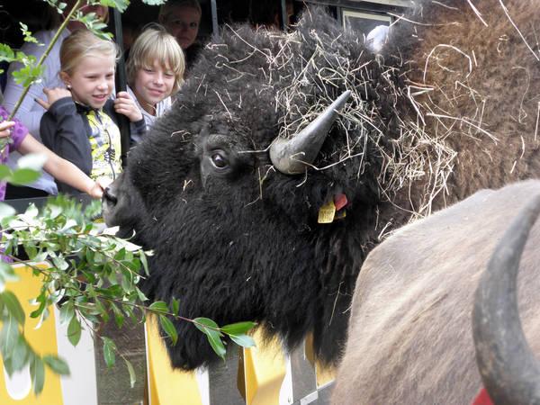 Bisonoxe på Smålandet