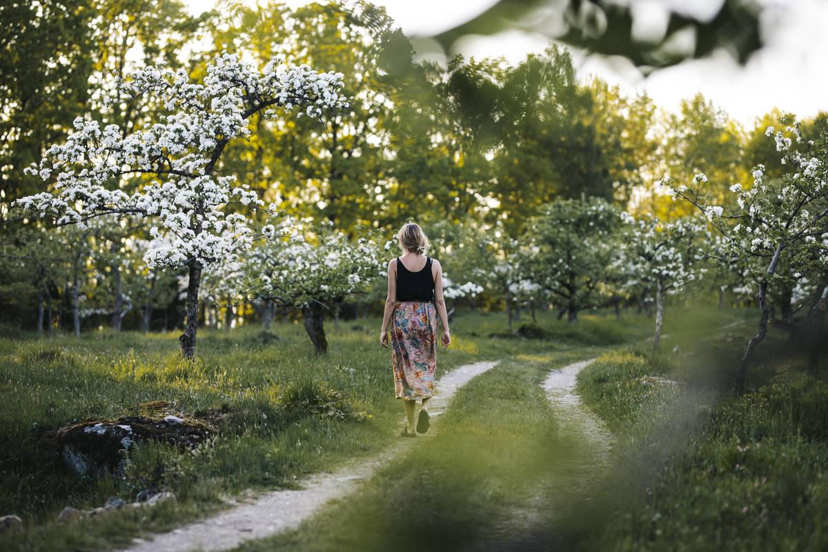 Äppelodling i Småland