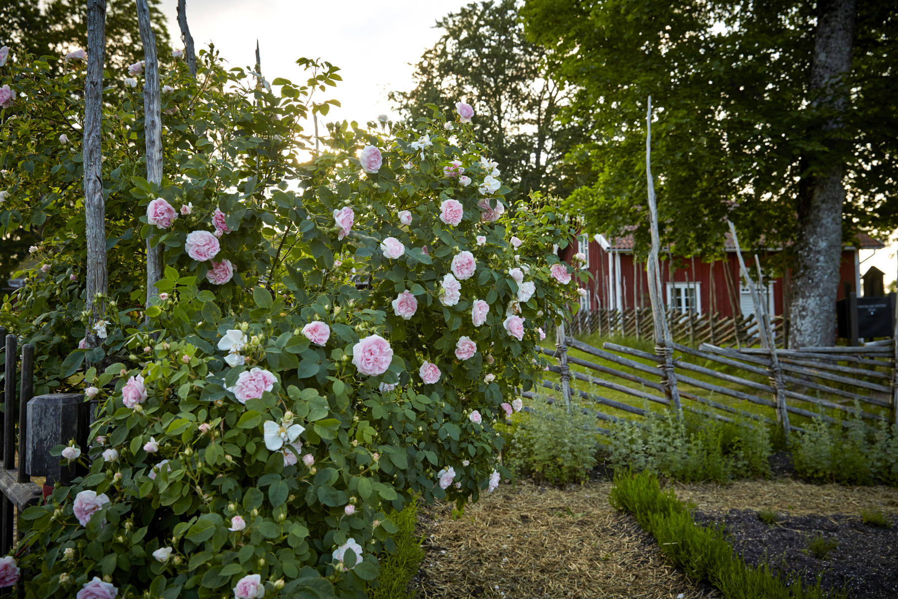 Carl von linne trädgård Råshult