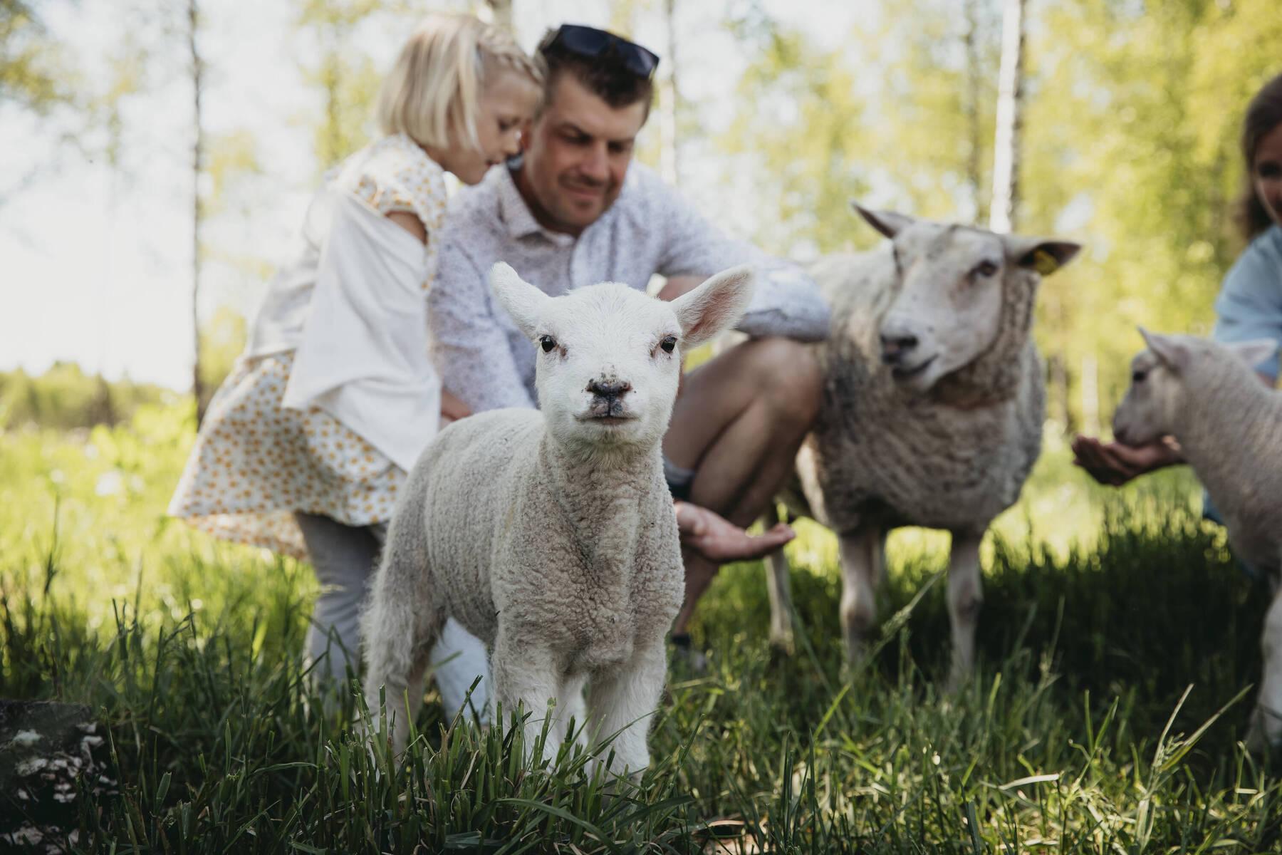 Nyfikna får & lamm på Kastebergs Gård