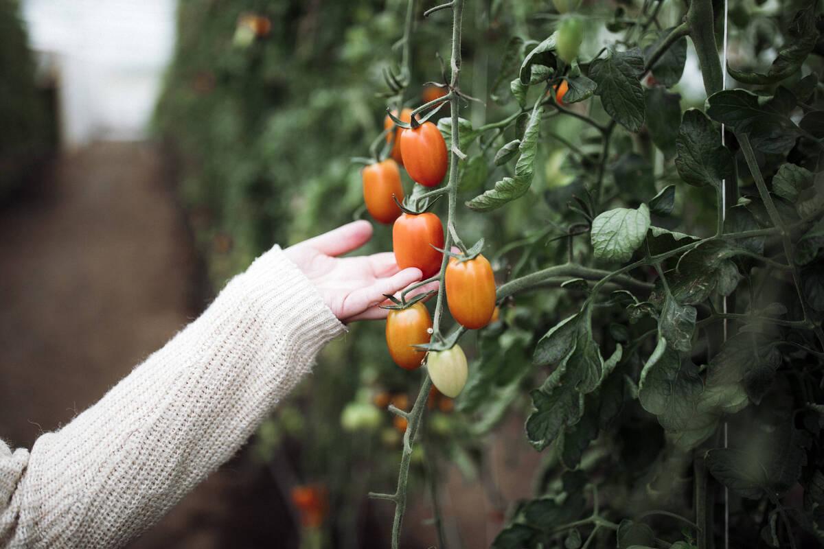 Tomatodling Småland